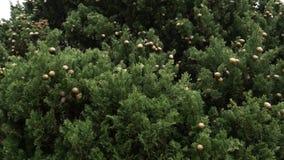 Κώνοι στους πράσινους κλάδους κυπαρισσιών απόθεμα βίντεο