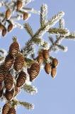 Κώνοι στο δέντρο. Στοκ φωτογραφία με δικαίωμα ελεύθερης χρήσης