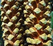Κώνοι Cycad στοκ φωτογραφία