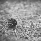 Κώνος πεύκων που βρίσκεται στο έδαφος στο δάσος το καλοκαίρι - στιγμιαία εκλεκτής ποιότητας τετραγωνική φωτογραφία σε γραπτό Στοκ Εικόνες