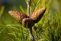 Κώνος πεύκων σε ένα δέντρο πεύκων στο δάσος Στοκ φωτογραφία με δικαίωμα ελεύθερης χρήσης