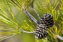 Κώνος πεύκων σε ένα δέντρο πεύκων στο πράσινο δάσος Στοκ φωτογραφία με δικαίωμα ελεύθερης χρήσης