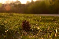 Κώνος πεύκων στη χλόη κάτω από το μαλακό φως του ήλιου Στοκ εικόνα με δικαίωμα ελεύθερης χρήσης