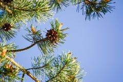 Κώνος πεύκων στον κλάδο και το μπλε ουρανό Στοκ Εικόνες