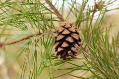 Κώνος πεύκων στο δέντρο πεύκων με τις πράσινες βελόνες Στοκ Εικόνες