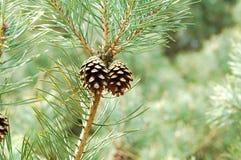 Κώνος πεύκων στο δέντρο Στοκ εικόνες με δικαίωμα ελεύθερης χρήσης