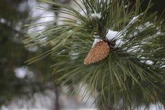Κώνος πεύκων στο δέντρο πεύκων στο χειμώνα στοκ φωτογραφία με δικαίωμα ελεύθερης χρήσης