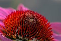 Κώνος Echinacea Στοκ Εικόνα