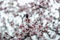 Κλάδοι δέντρων βερικοκιών στο άνθος Στοκ Φωτογραφία