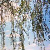 Κλάδοι δέντρων ιτιών Στοκ Εικόνες
