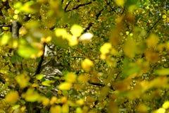 Κλάδοι δέντρων οξιών φθινοπώρου στοκ εικόνες