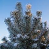 Κλάδοι δέντρων πεύκων Στοκ Φωτογραφίες