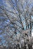 Κλάδοι δέντρων που ντύνονται στον πάγο Στοκ Εικόνα
