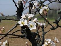 Κλάδοι δέντρων της Apple με τα άνθη Στοκ Φωτογραφίες