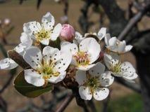 Κλάδοι δέντρων της Apple με τα άνθη Στοκ εικόνα με δικαίωμα ελεύθερης χρήσης