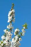 Κλάδοι δέντρων της Apple με τα άσπρα λουλούδια την άνοιξη Στοκ Εικόνα