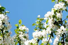 Κλάδοι δέντρων της Apple με τα λουλούδια στο υπόβαθρο ουρανού Στοκ Φωτογραφίες