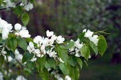 Κλάδοι δέντρων της Apple με την άσπρη κινηματογράφηση σε πρώτο πλάνο άνοιξη λουλουδιών Στοκ εικόνες με δικαίωμα ελεύθερης χρήσης
