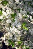 Κλάδοι δέντρων της Apple με την άσπρη κινηματογράφηση σε πρώτο πλάνο άνοιξη λουλουδιών Στοκ Εικόνες