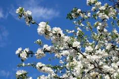 Κλάδοι δέντρων της Apple με την άσπρη κινηματογράφηση σε πρώτο πλάνο άνοιξη λουλουδιών Στοκ Φωτογραφίες