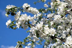 Κλάδοι δέντρων της Apple με την άσπρη κινηματογράφηση σε πρώτο πλάνο άνοιξη λουλουδιών Στοκ φωτογραφία με δικαίωμα ελεύθερης χρήσης