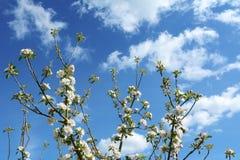 Κλάδοι δέντρων της Apple με την άσπρη προσιτότητα λουλουδιών ανθών επάνω στον ουρανό Στοκ Εικόνες