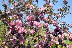 Κλάδοι δέντρων της Apple με τη ρόδινη κινηματογράφηση σε πρώτο πλάνο άνοιξη λουλουδιών Στοκ φωτογραφία με δικαίωμα ελεύθερης χρήσης