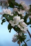 Κλάδοι δέντρων της Apple στα λουλούδια Στοκ Εικόνα