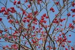 Κλάδοι δέντρων του Rowan με τα φρούτα Στοκ Εικόνες
