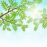 Κλάδοι δέντρων του Rowan Στοκ Εικόνα