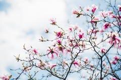 Κλάδοι δέντρων Magnolia στο άνθος Στοκ Εικόνες