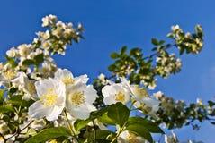 Κλάδοι ανθίζοντας jasmine ενάντια στο μπλε ουρανό. Στοκ Φωτογραφία