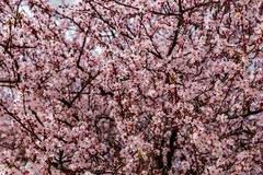 Κλάδοι ανθών κερασιών Στοκ φωτογραφίες με δικαίωμα ελεύθερης χρήσης