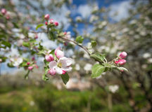 Κλάδοι ενός ανθίζοντας δέντρου της Apple με τα άσπρα και ρόδινα λουλούδια Στοκ Φωτογραφία