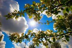 Κλάδοι ενός ανθίζοντας δέντρου της Apple στο υπόβαθρο του μπλε ουρανού και του ήλιου Στοκ φωτογραφία με δικαίωμα ελεύθερης χρήσης