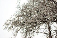 Κλάδοι κάτω από τη ισχυρή χιονόπτωση Στοκ φωτογραφία με δικαίωμα ελεύθερης χρήσης