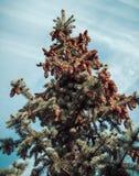 Κλάδοι και κώνοι δέντρων του FIR Στοκ Εικόνες