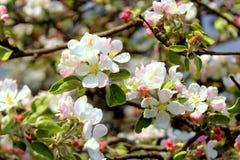 Κλάδοι με τα λουλούδια του μήλου Στοκ Φωτογραφία