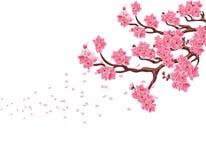 Κλάδοι με τα ρόδινα άνθη κερασιών Sakura Η μύγα πετάλων στον αέρα η ανασκόπηση απομόνωσε το λευκό απεικόνιση στοκ φωτογραφία με δικαίωμα ελεύθερης χρήσης