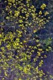 Κλάδοι με τα φωτεινά φύλλα στο σκοτεινό υπόβαθρο Backlite Στοκ Εικόνα