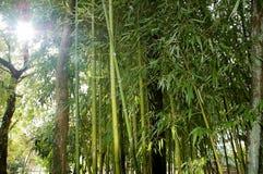 Κλάδοι με τα φύλλα των καλάμων μπαμπού Στοκ φωτογραφία με δικαίωμα ελεύθερης χρήσης