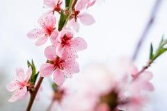 Κλάδοι με το όμορφο ρόδινο ροδάκινο λουλουδιών ενάντια στο μπλε ουρανό Στοκ φωτογραφίες με δικαίωμα ελεύθερης χρήσης