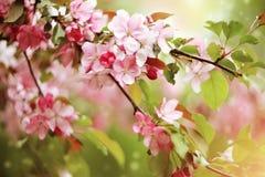 Κλάδοι με χλωμό - ρόδινα λουλούδια του δέντρου της Apple Στοκ φωτογραφία με δικαίωμα ελεύθερης χρήσης