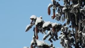 κλάδοι πεύκων με τους κώνους που καλύπτονται με το χιόνι φιλμ μικρού μήκους
