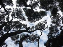 Κλάδοι πεύκων στο υπόβαθρο ουρανού στοκ εικόνα