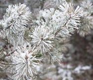 Κλάδοι που καλύπτονται κωνοφόροι με το hoarfrost Στοκ Εικόνες