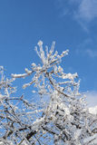 Κλάδοι που καλύπτονται με τον πάγο στον ήλιο Στοκ Εικόνες