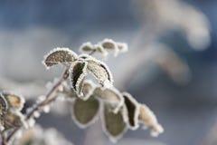 Κλάδοι που καλύπτονται με το φύλλο, τον πάγο και το χιόνι hoarfrost Στοκ εικόνες με δικαίωμα ελεύθερης χρήσης