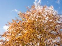 Κλάδοι της σορβιάς φθινοπώρου Στοκ Εικόνα