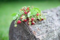 Κλάδοι της φρέσκιας άγριας άγριας φράουλας στο παλαιό ξύλο ενός κούτσουρου Στοκ φωτογραφία με δικαίωμα ελεύθερης χρήσης